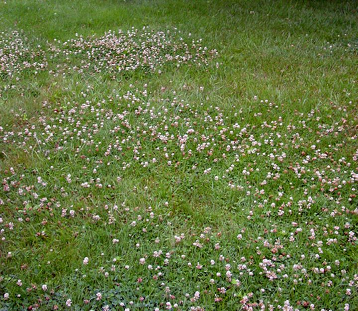 Weeds to some, sweets to the rest. White dutch clover is an extremely valuable honey plant that happens to coexist with turf grasses. Photo credit: genieinthegarden.com