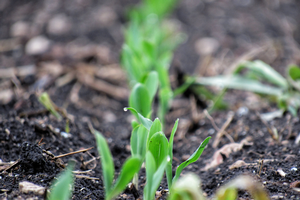 Corn plants sprouting from ground