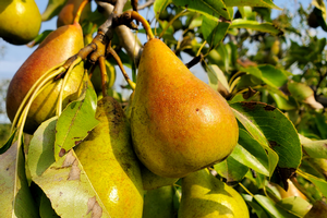 Southwest Michigan fruit update – Sept. 8, 2020