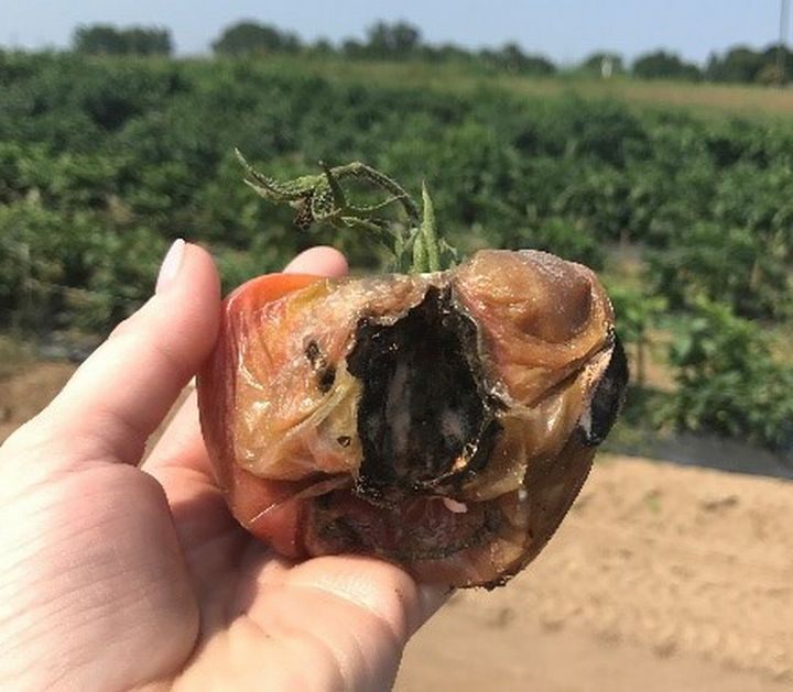 Bird damage to tomato