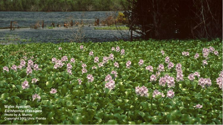 When water hyacinth plants escape or are released into the natural environment, they often form dense mats of vegetation which block out sunlight. Photo by A. Murray, University of Florida/Center for Aquatic and Invasive Plants. Used with permission.