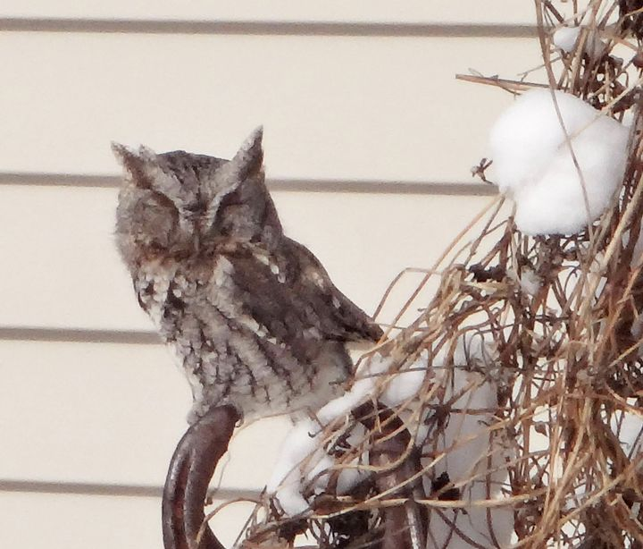 The eastern screech owl that visited my yard this winter.