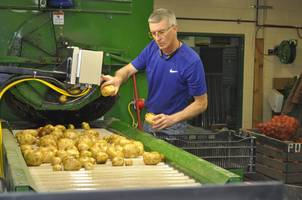 MSU Extension potato specialist Chris Long examines potatoes as part of his potato breeding trial.