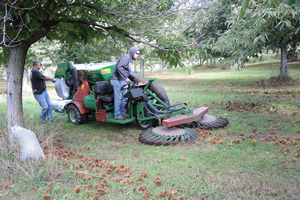 Chestnut Orchard Solutions harvests chestnuts at a northern Michigan farm, October 2016. Photo: Erin Lizotte, MSU Extension.
