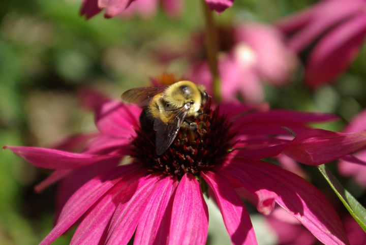 Native bee on coneflower. Photo by Rebecca Finneran, MSU Extension