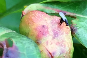 Register for blueberry stem gall wasp and blueberry pollination webinar on March 17