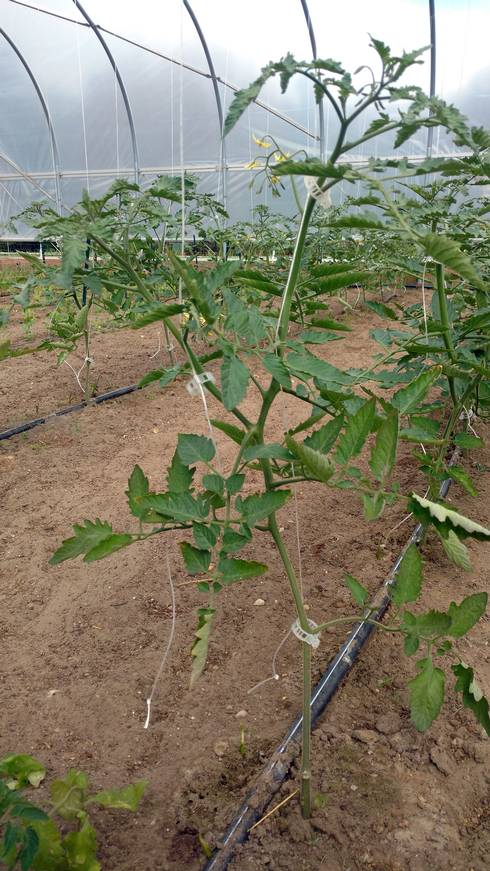A well-pruned indeterminate tomato with two main leaders. Photo: Ben Phillips, MSU Extension.