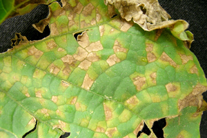 Downy mildew confirmed on cucumbers in Ohio