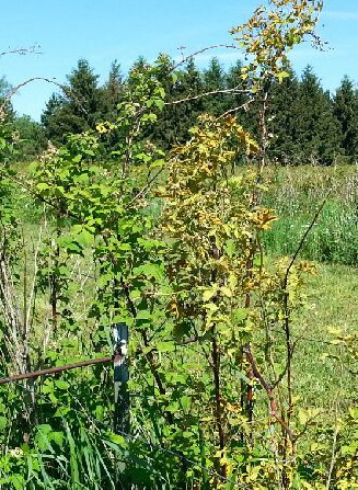 Yellowish leaves on spindly canes of blackberry with systemic orange rust infection. Photos by Annemiek Schilder, MSU.