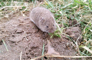 Vole management for Michigan crop producers