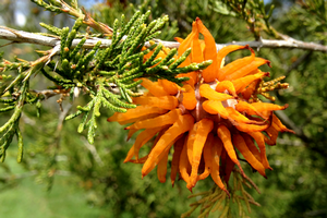 Creepy, orange fungus attacking junipers