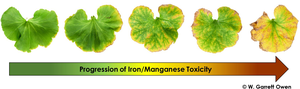 Figure 1. Progression of low substrate pH induced iron (Fe) and manganese (Mn) toxicity symptoms in zonal geranium (Pelargonium × hortorum). Photo: W. Garrett Owen.