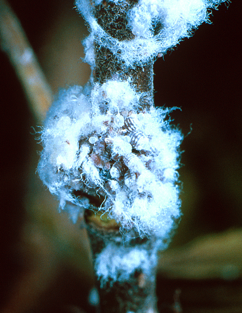 Waxy secretions resemble small tufts of wool or cotton batting.