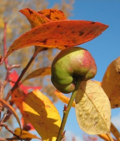 A gall on a blueberry stem.