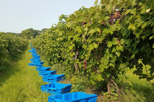 Michigan grape scouting report – Sept. 16, 2020