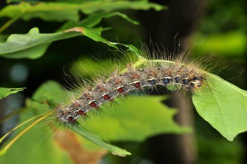 Gypsy moth caterpillar feeding on oak leaf.