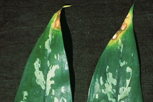 "Photo 1. Necrosis on leaf tips from fluoride toxicity. Photo credit: J.M.F. Yuen, ""Plant Disease Diagnosis,"" APSnet.org"