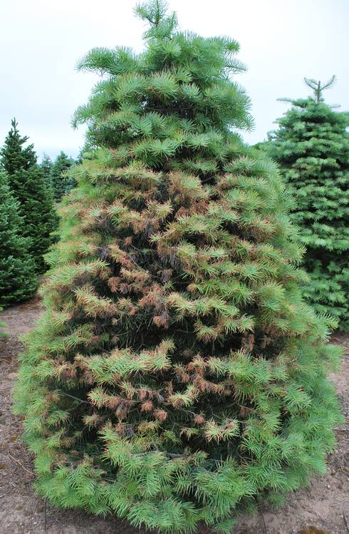 Concolor fir damaged from Delphinella shoot blight. Photos: Jill O'Donnell,  MSU - Concolor Fir Turning Brown - MSU Extension