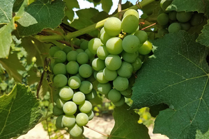 Juice grapes are approaching veraison in southwest Michigan.