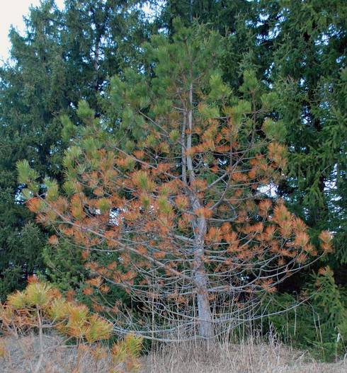 Austrian pine along the roadside with Dothistroma needle blight. Photo: Jill O'Donnell, MSU Extension.