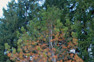 Why are my pine trees turning brown?