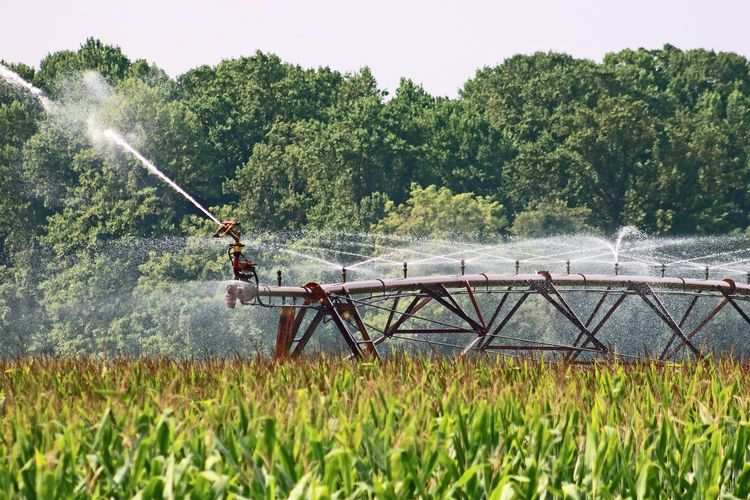 Irrigated corn field