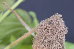 Botrytis control tips for greenhouse ornamentals