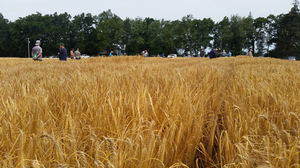 Winter malting barley performs well in southern Michigan