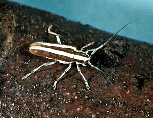 Adult has a hard, elongated body with white and brown longitudinal stripes and long antennae.