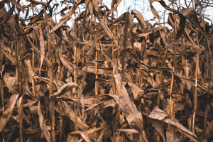 Insights from 2018 corn yield, stalk nitrate-N and drone imaging research