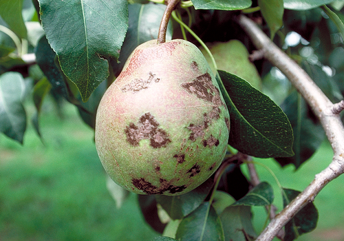 Fruit becomes misshapen with dark brown to black spots or patches.