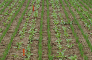 Cover crop innovations on vegetable farms: What's new?