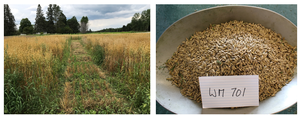 Ground cover (left) after oat harvest, and uncleaned oats (right) from weed management trial showing significant lamb's quarters weed seed contamination.