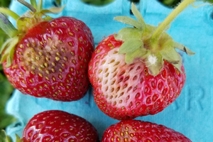 Strawberries with Phytophthora and anthranose