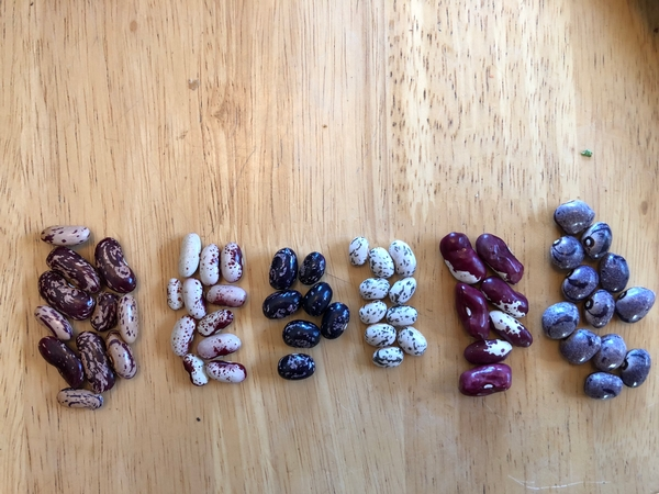 Heirloom bean seeds Photo credit: Abby Harper
