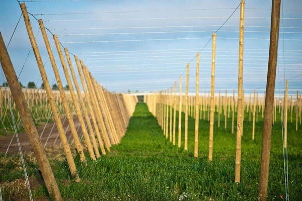 MI-Local Hops | Photo by Gary Howe (2015)