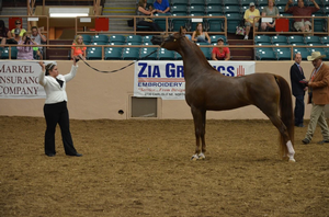 An Arabian horse being showed halter at the Youth National Arabian and Half-Arabian Championship in Albuquerque, New Mexico. Photo courtesy of Sophie Lourenco.