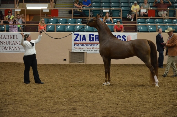 Judging Arabian horses at halter - MSU Extension
