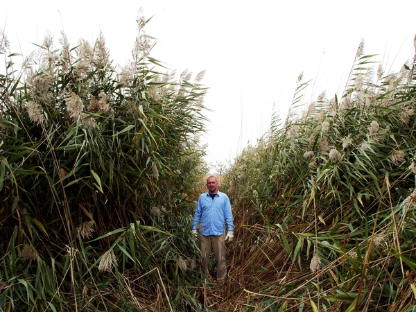 Photo 1. Phragmites mature plants in flower. Photo by Michigan Dept. of Natural Resources