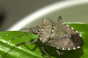 Michigan brown marmorated stink bug report for July 7, 2015