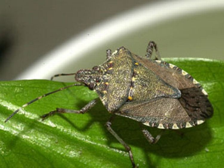 Brown marmorated stink bug adult. Photo by David R. Lance, USDA APHIS PPQ, Bugwood.org