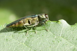 MSU researcher working to address emerald ash borer