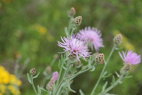 Spotted knapweed (Centaurea stoebe) releases a chemical through its roots that is toxic to other plants, allowing it to be a widespread invasive problem in Michigan. Photo by Rob Routledge, Sault College, Bugwood.org.