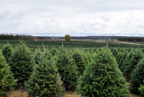 Real Christmas Trees History Facts And Environmental Impacts Msu