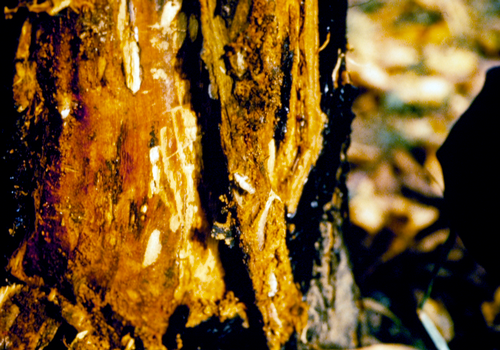 Larvae feed in the cambium layer of the trunk or scaffolds.
