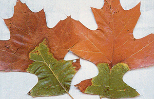 Oak wilt will turn red oak leaves into a dull green or brown. Heavy defoliation accompanies leaf wilting and discoloration.