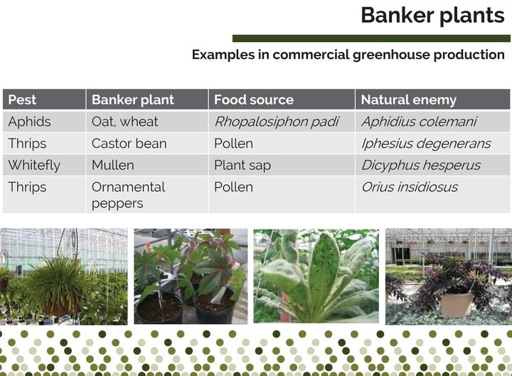 Photo 1. Examples of commonly used banker plant systems used in commercial production. Slide courtesy of Rose Buitenhuis, Vineland Research and Innovation Centre, with pictures from OMAFRA and Liette Lambert.