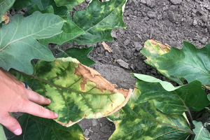 Verticillium wilt causes leaves to yellow, roll inward and wilt. As the infection progresses, leaves dry out and turn brown. All photos by Marissa Schuh, MSU Extension.
