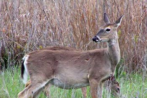 Hunting female deer a better population management strategy