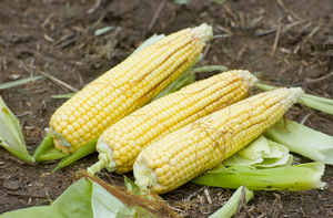 Sweet corn and summer traditions
